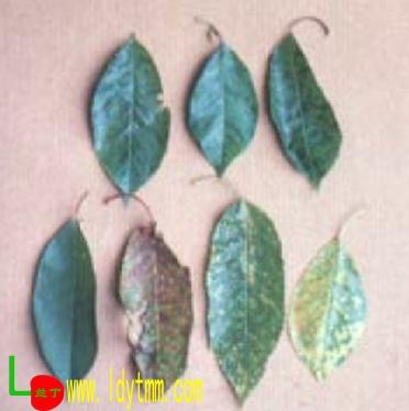 老叶出现黄斑-樱桃病毒病 兰丁樱桃苗木图片
